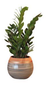Plante Zamioculcas