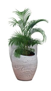 Plante Aréca