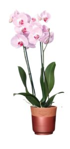 Plante Orchidée papillon